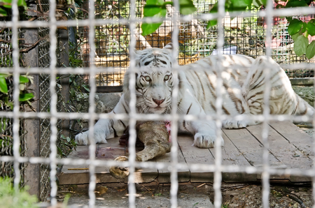 caged: Landmark in Yalta - Eating white tiger in caged in Yalta zoo, Crimea