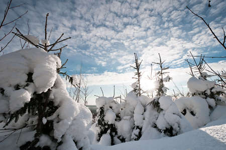 Small snow covered spruces with beautiful cloudscape on background photo