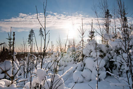 Small snow covered spruces with beautiful sunlight on background