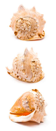Isolated big seashell in three different positions on white Stock Photo