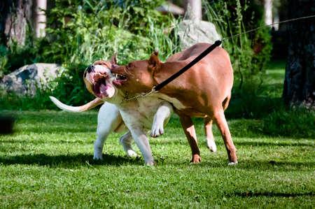 kampfhund: Zwei Staffordshire Terrier Spielen auf Hinterhof, ein anderes beißt