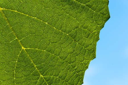 Grape leaf textured part at back view and outdoors