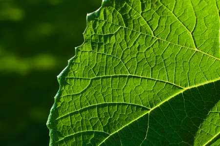 Grape leaf textured part at front view and outdoors Stock Photo