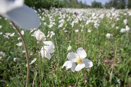White poppy flower field. Selective focus. Windy weather.