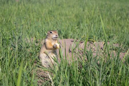 A wild Gopher eating a piece of cheese near his hole in grass on meadow.