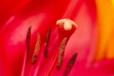 Close-up of red lily flower bud. Stamens and pistils with pollen of red flowers. Flower stamens and pistils. Soft selective focus