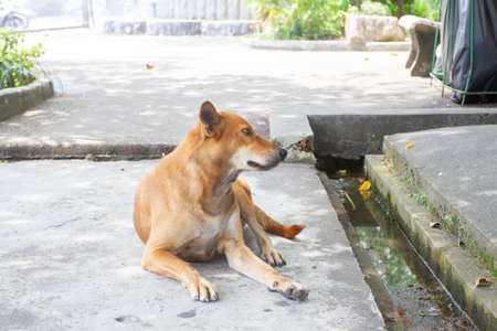Ginger dog resting in the shade on the asphalt in thailand.