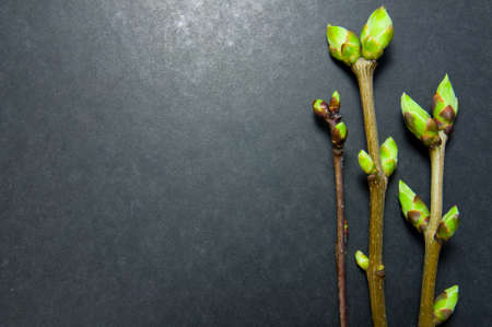 Three twigs with swell buds on grey background with free space for text.