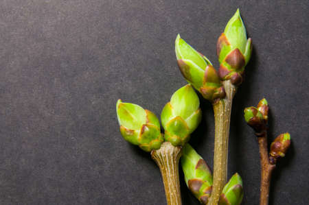swell: Three twigs with swell buds close-up on grey background with free space for text. Stock Photo
