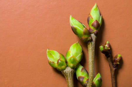 swell: Three twigs with swell buds close-up on terra-cotta background bright tone with free space for text.