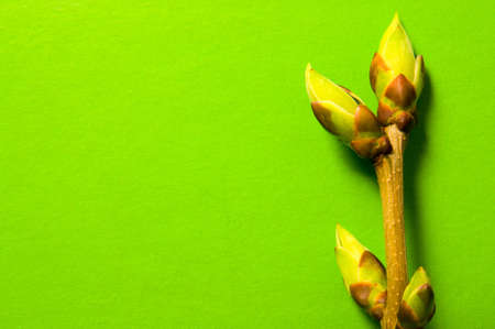 swell: One twig with swell buds on green background with free space for text.