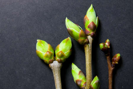 swell: Three twigs with swell buds close-up on dark grey background with free space for text. Stock Photo