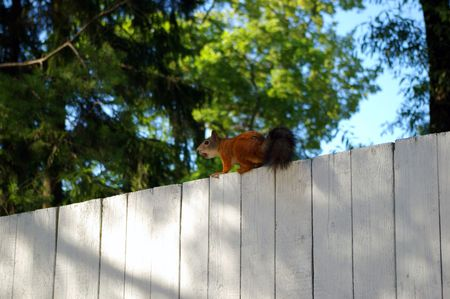 Red squirrel on a fence in a imperial garden in Russia photo