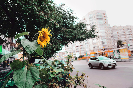 city road: Sunflower on the city road