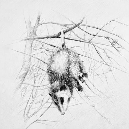 opossum: Sleeping opossum hangs on a tree branch.