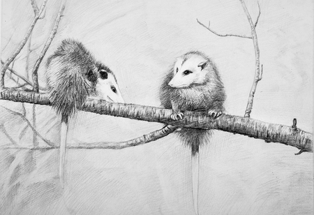 Sketch of wild possums on a branch on a white background.