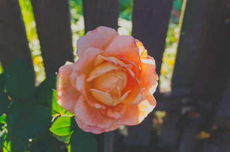 summer day beautiful rose growing in the garden blooming season.