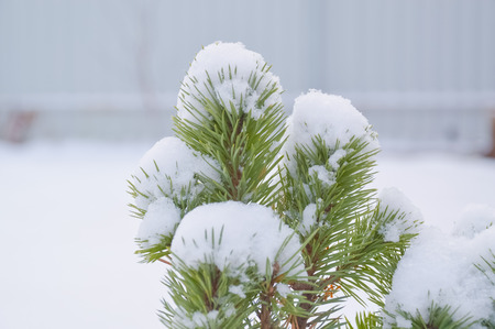 branch of a pine needle tree snow cap in the winter.
