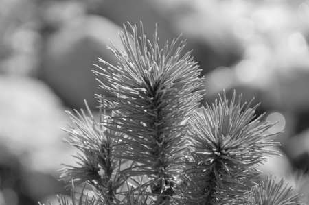 background, Christmas tree branch, or eat on the street, Sunny day, closeup, black and white.