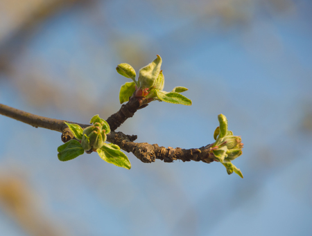 the branches of Apple trees in spring, close up. Stock Photo