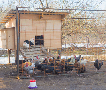 in the henhouse the day the chickens of different colors. Stock Photo