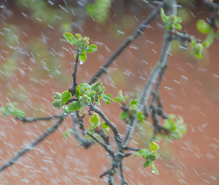 the branches of Apple trees in the spring under the rain.