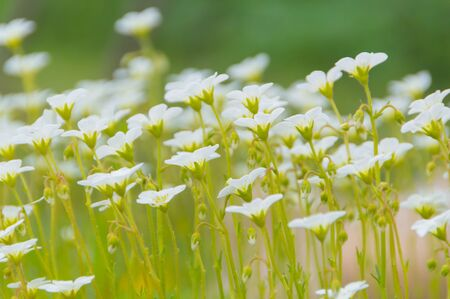 whiteness: white flowers on a green meadow, close up.