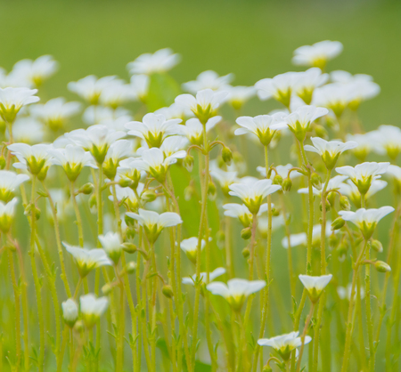 white flowers on a green meadow.