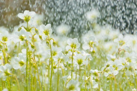 white flowers on a green meadow, in the rain. Stock Photo
