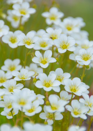 background is a field of many white flowers.