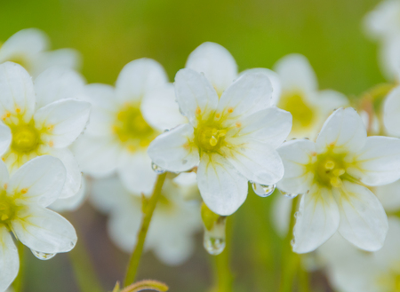 closeup of white flowers on a green meadow with raindrops.