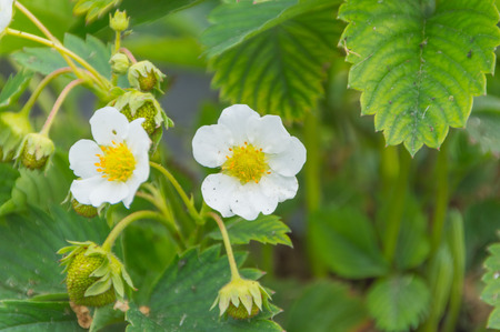 Bush of strawberry with flowers and green berries.
