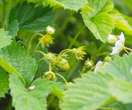summer strawberry Bush with flowers and green berries. Imagens