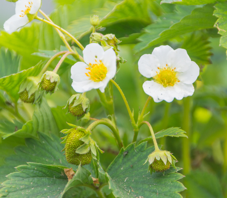 green berries and white flowers on a Bush of strawberries. Stock Photo