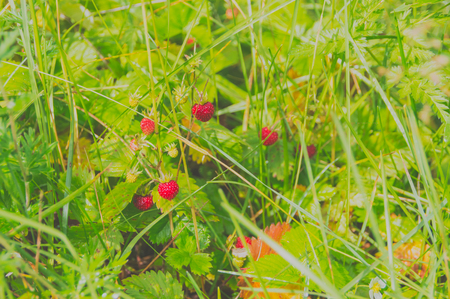 근접 촬영, 부시 딸기 여름에 딸기.