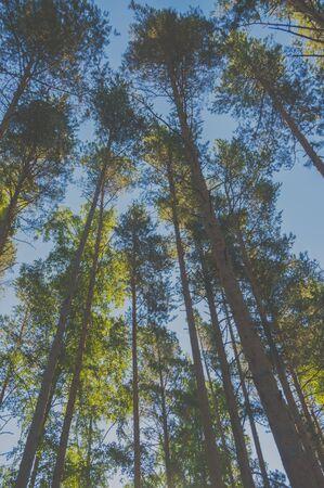 空、太陽と松の木の幹。 写真素材