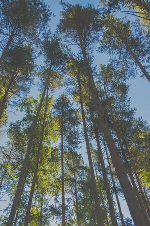 sky, the sun and the trunks of pine trees. Stock fotó