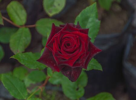on the living stalk of red rose.