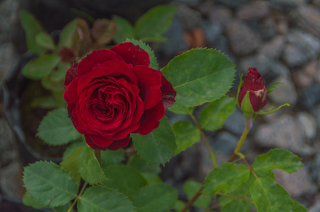 closeup of red rose with Bud on stem.
