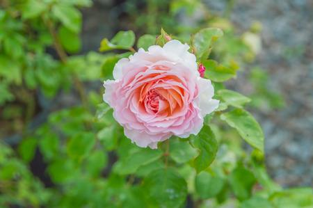 pink rose on stem.