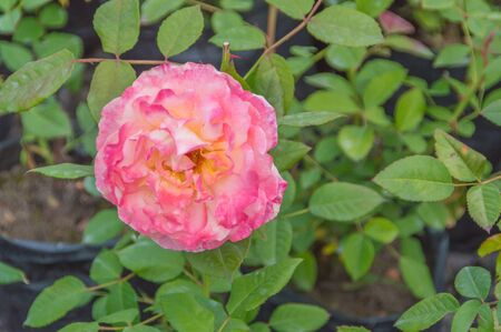 on the stem of the rose is not the usual color.