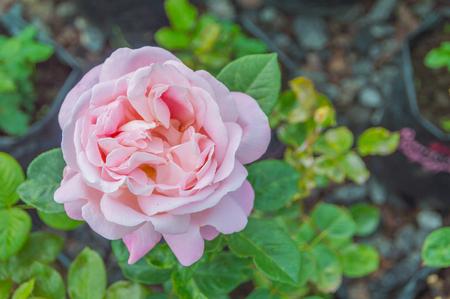 closeup of pink rose on stem.