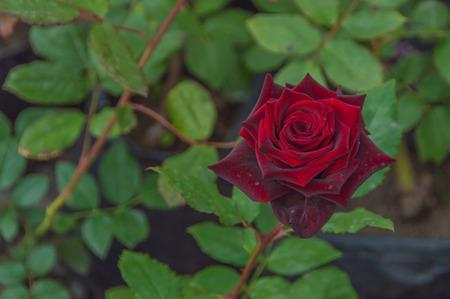 줄기에 빨간 장미의 근접 촬영입니다. 스톡 콘텐츠