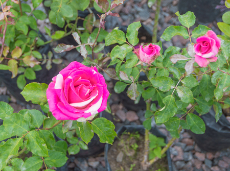 flower rose is not an ordinary color.