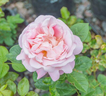 living Bush of pink roses.