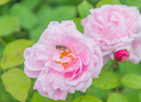 bee on a pink rose Bush. 版權商用圖片 - 83860244