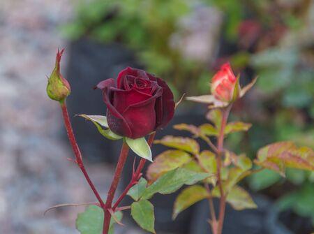 vivo: in vivo stem red rose Bud.