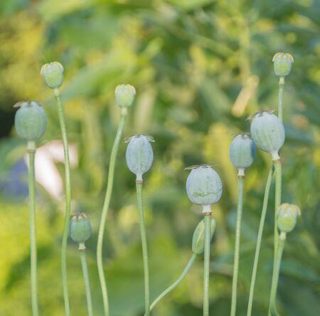 Bud and green poppy head, Opium poppy.