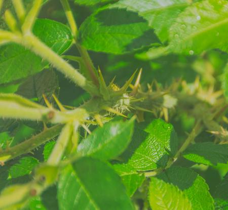 줄기에 장미와 나뭇잎, 근접 촬영의 가시