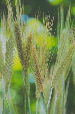 closeup of ears of rye, wheat